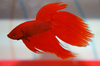 Red Siamese Fighting Fish (Betta Fish)